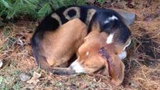OSPCA investigates injured dog in Aurora