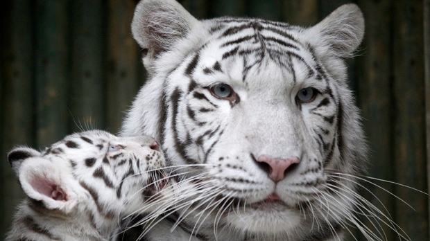 Czech Liberec zoo white tiger mauls employees