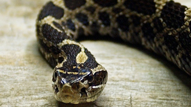 Massassauga rattle snake endangered species Canada