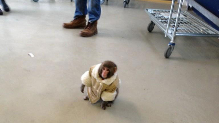 A monkey appears in a Toronto Ikea store on Sunday, Dec. 9, 2012. (Brownwyn Page)