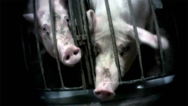 Puratone pig farm Manitoba Mercy for Animals