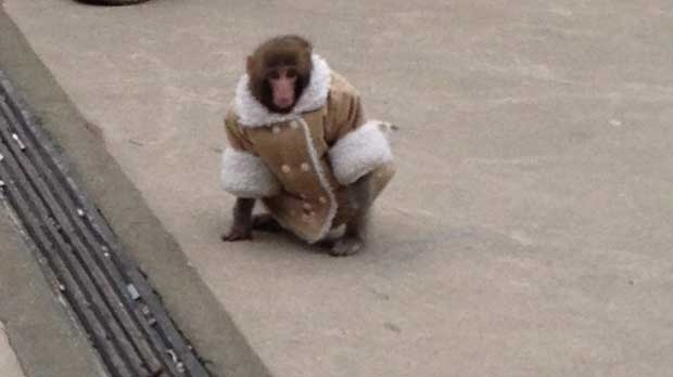 A small monkey wearing a winter coat and a diaper exits an IKEA in Toronto on Sunday, Dec. 9, 2012. (The Canadian Press/Bronwyn Page)