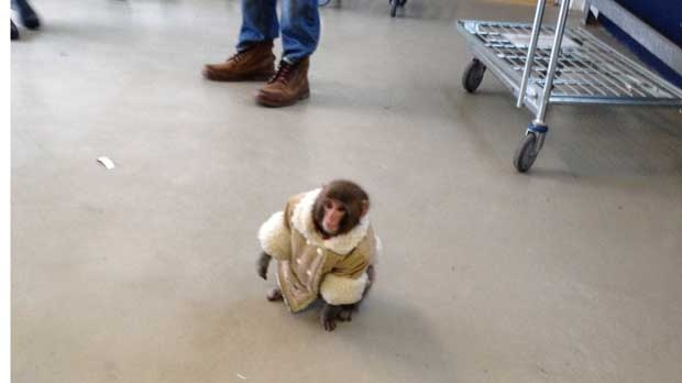 A small monkey wearing a winter coat and a diaper exits an IKEA in Toronto on Sunday Dec. 9, 2012. The monkey let itself out of its crate in a parked and went for a walk.  The animal's owner contacted police later in the day and was reunited with their pet, police said. (Bronwyn Page / The Canadian Press)