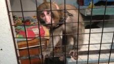Ikea monkey Darwin