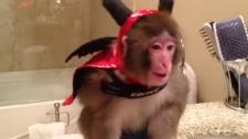 Darwin Rhesus macaque monkey Ikea Toronto