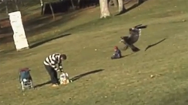 This screen grab from a YouTube video purports to show a large eagle snatching a child in a Montreal park. The video was posted Tuesday, Dec. 18, 2012.