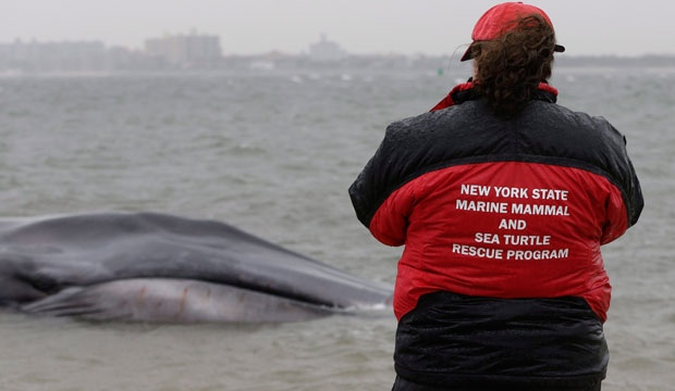beached whale, new york city, dies, death