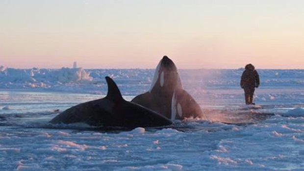 A pod of killer whales surfaces in a small hole in the ice near near Inukjuak, Que., on Wednesday, Jan. 8, 2013. (The Canadian Press/HO, Marina Lacasse)
