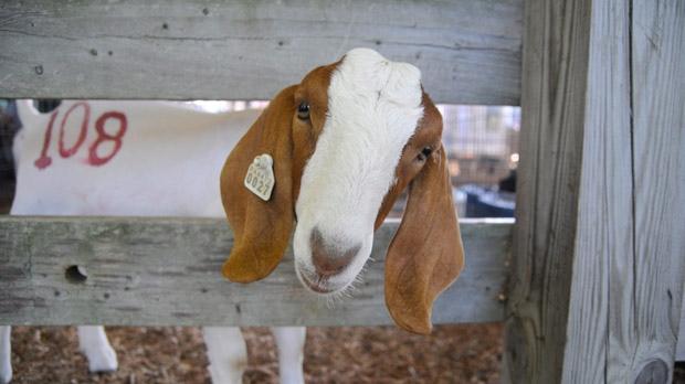 Australia court clears flower-eating goat