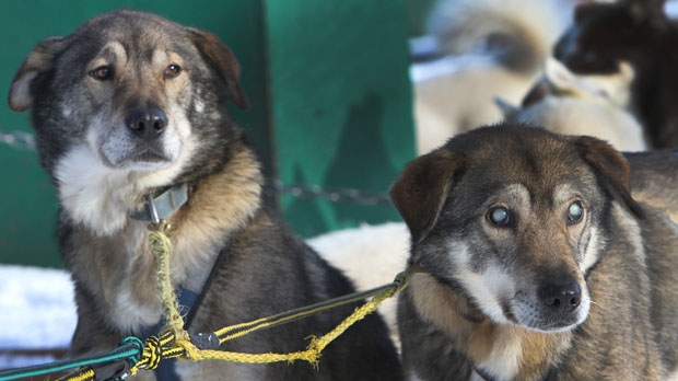 Gonzo blind sled dog New Hampshire kennel