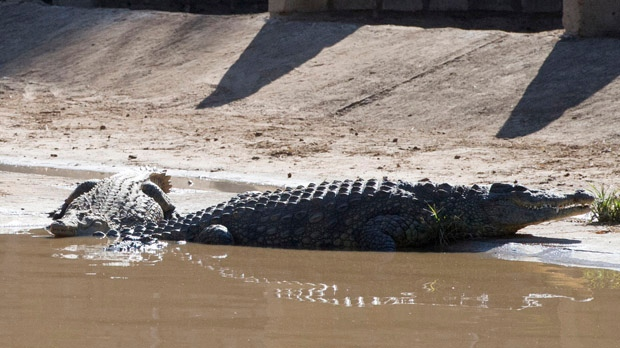 Crocodiles escape South Africa farm flooding