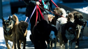A dog walker has her hands full with dogs a she walks along St. Clair Ave. on a cool day in Toronto, Monday, March 7, 2011. (Nathan Denette / THE CANADIAN PRESS)