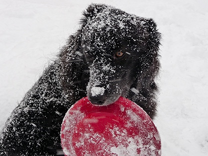 A dog grips on to a frisbee on Saturday, Jan. 8, 2011. (CP24-MyBreakingNews/Jared Feid)