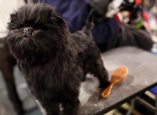 Banana Joe Westminster dog show Broadway play
