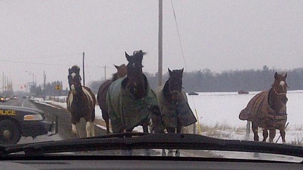 Horses, caledon, police