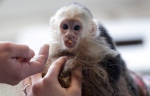 Capuchin monkey 'Mally' sits on the head of an employee in an animal shelter in Munich, Germany, April 2, 2013. (AP / Matthias Schrader)