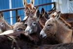 Donkeys are seen on a farm in Athens, La., Friday, March 16, 2012. (AP Photo/Gerald Herbert)