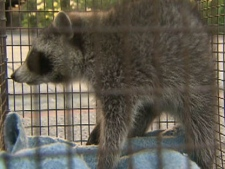 An injured raccoon is transported by Toronto Animal Services after it was allegedly beaten by a man in a yard near Bloor Street West and Lansdowne Avenue on Wednesday, June 1, 2011.