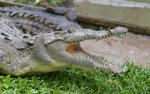 In this Sunday, Sept. 29, 2013 photo, a roughly seven-foot female crocodile opens its toothy jaws in one of several fenced pens at a sanctuary in the mountain town of Cascade in northern Jamaica. (AP Photo/David McFadden)