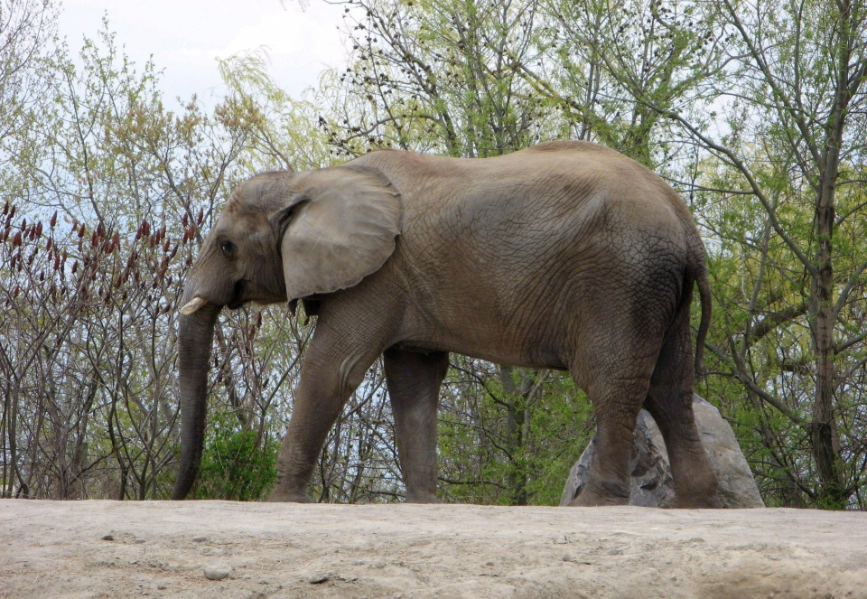 Thika, one of the Toronto Zoo's three elephants, walks around it's enclosure in this May 12, 2011 photo. (Pat Hewitt /The Canadian Press)