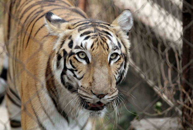 India scrambles to save endangered wild tigers