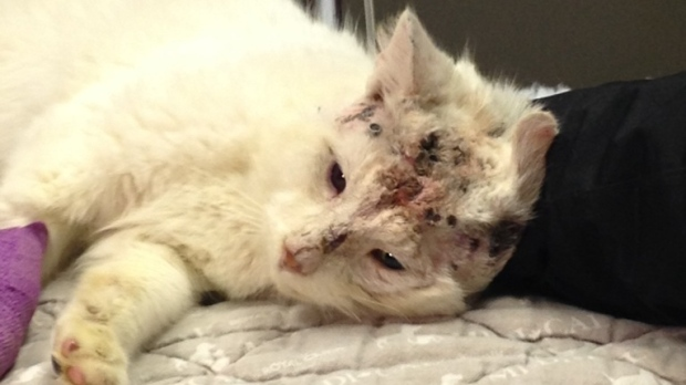 Cat recovering after being shot with pellet gun