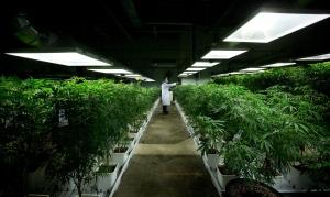 MediJean cannabis plant care technician Misad Shazi sprays water on marijuana plants growing at the medical marijuana facility in Richmond, B.C., on Friday, March 21, 2014. (The Canadian Press/Darryl Dyck)