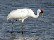 In this Jan. 15, 2006, file photo, a whooping crane searches for food at the Aransas National Wildlife Refuge near Rockport, Texas. (AP Photo/Ron Heflin, File)