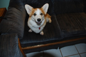 Smidgie, a seven-year-old Corgi, is seen in this provided photograph.
