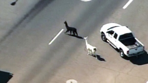 Two llamas led police on a chase in the Phoenix area.