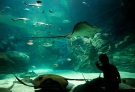 A young boy is silhouetted as he watches sting rays swim during the grand opening of the Ripley's Aquarium of Canada in Toronto on Wednesday, Oct. 16, 2013. (Nathan Denette /The Canadian Press)