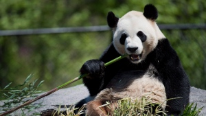 Da Mao eats bamboo at the Toronto Zoo on May 16, 2013. (Nathan Denette / The Canadian Press)