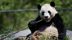 Da Mao eats bamboo at the Toronto Zoo on May 16, 2013. (Nathan Denette / The Canadian Press)