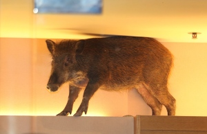 In this photo taken Sunday, May 10, 2015 photo, a wild boar is seen on top of a display rack at a children's clothing store in a mall in Hong Kong. The Hong Kong shopping mall received an unusual visit over the weekend, after the wild boar wandered inside and got trapped inside a children's clothing store. The boar was eventually tranquilized by a vet and taken to an animal rehab center, local newspaper reported. (AP Photo/Apple Daily)