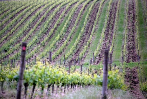 Pinot Noir fields are shown at Sokol Blosser Winery in Dundee, Oregon in this May 13, 2015 photo. (Kristyna Wentz-Graff/The Oregonian via AP)