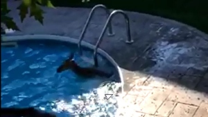 A deer jumped into a swimming pool in Durham Region but was successfully rescued.