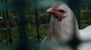Rent-a-chicken in Toronto