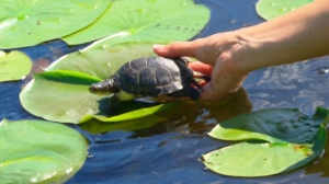 21 baby turtles were introduce to their new home a