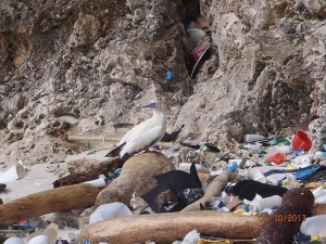 In this photo taken in 2013, provided by Britta Denise Hadety, a red-footed booby on Christmas Island, in the Indian Ocean. As many as nine out of ten of the world's seabirds likely have pieces of plastic in their guts, a new study estimates. Previously, scientists figured about 29 percent of seabirds had swallowed plastic, but those are older studies. An Australian team of scientists who have studied birds and marine debris for decades used computer models to update those figures, calculating that far more seabirds are affected, according to a new study published in the journal Proceedings of the National Academy of Sciences Monday. (Britta Denise Hardesty/Commonwealth Scientific and Industrial Research Organisation via AP)