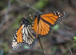 In this Jan. 4, 2015 file photo, monarch butterflies perch on a twig at the Piedra Herrada sanctuary, near Valle del Bravo, Mexico. (Rebecca Blackwell/AP Photo)