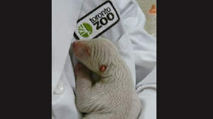 A polar bear cub is fighting for its life at the Toronto Zoo. (Photo courtesy of Toronto Zoo)