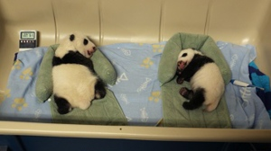 Twin giant panda cubs seen resting on Nov. 27. (Toronto Zoo)