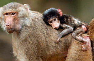 A hamadryas baboon cub sits on the back of its mother in their enclosure at the zoo in Berlin, Germany, Friday, Nov. 8, 2013. After the matriarch died last year, a vicious battle erupted among the female baboons at the Toronto Zoo for her throne that endured for months, prompting a brief closure of the exhibit. (AP Photo/Michael Sohn)