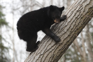 In this Sunday, April 12, 2015 file photo, a black bear cub climbs down a tree near Government Hill in Anchorage, Alaska. (Bill Roth/Alaska Dispatch News via AP)