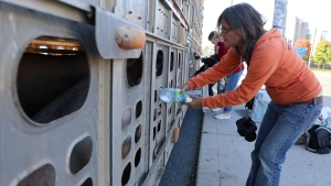 Animal rights activist Anita Krajnc gives water to a pig in a truck in a handout photo. (The Canadian Press/HO-Elli Garlin)