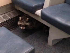 Metrolinx spokesperson Anne Marie Aikins says passengers at Union Station got a bit of a scare this morning when a raccoon made its way on to a GO train. (Submitted photo)