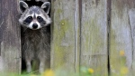 In this picture taken Sunday, May 11, 2014 a raccoon comes out from a hole in a barn in Sieversdorf, eastern Germany. (AP/dpa, Patrick Pleul)
