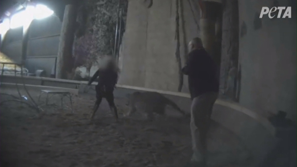 Michael Hackenberger, owner of the Bowmanville Zoo, is seen striking a tiger in a video released by PETA.