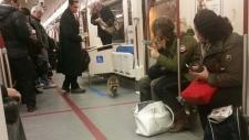 Raccoon on TTC subway