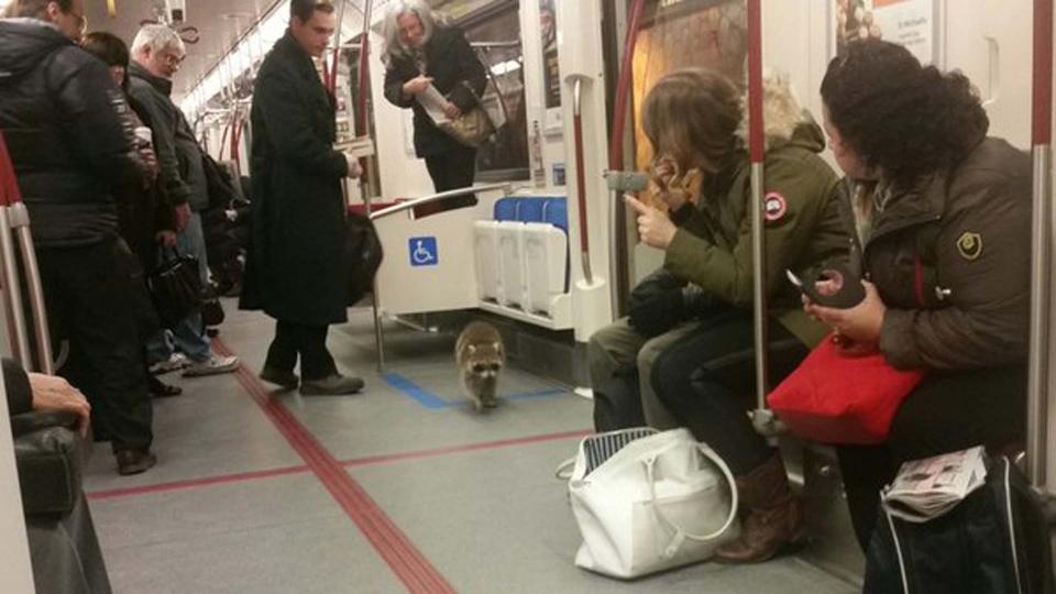 A raccoon walks a subway train at Spadina Station Tuesday February 2, 2016. (@TMarayeva /Twitter)